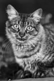 Gato pardo en blanco y negro. poster