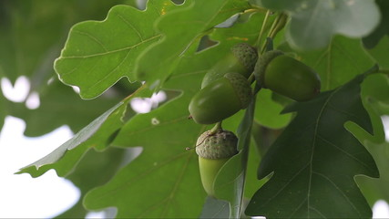 green unripe acorns