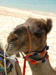 Camel on the beach in Dubai, UAE