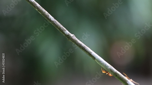 worker ants walk along a branch