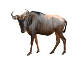 wilderbeest isolated