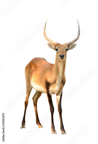 red lechwe isolated on white background