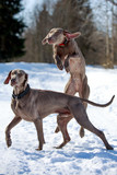 Two weimaraner dog plays on the snow field poster