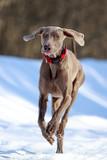 weimaraner dog runs in winter poster