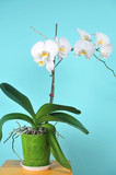 A room plant is a white orchid
