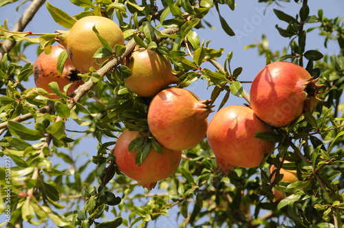 Pomegranate ripe fruit on a tree in northern Greece