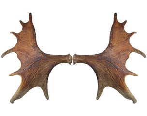 Horns of a large elk.