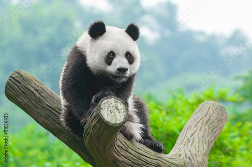 Giant panda bear climbing in tree