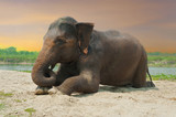 Asian elephant lying at the riverbank near jungle during sunset