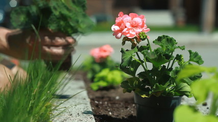 Planting geraniums in a flowerbed.