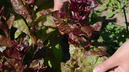 closeup woman hands gather pick salad leaves in rural garden