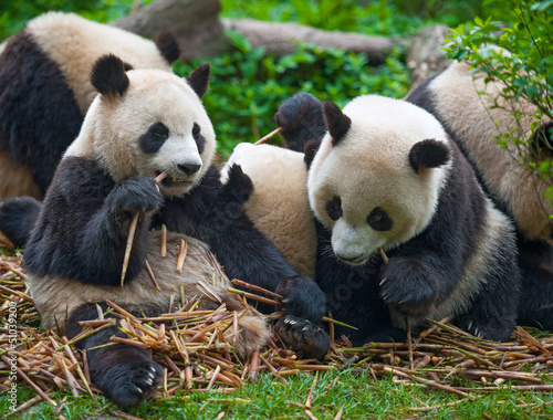 Panda bears eating together