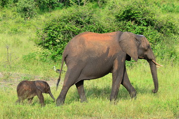 folowing mother,Chobe national park,Botswana