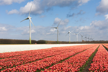Big Dutch colorful tulip fields with wind turbines