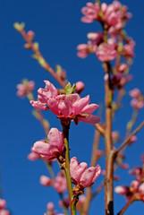 Blommande Persikaträd