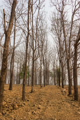 dry Teak trees at forest
