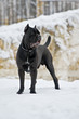 Black cane corso dog -italiano breed in Russia. winter portrait