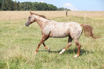 Nice appaloosa mare running