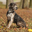Louisiana Catahoula dog in autumn