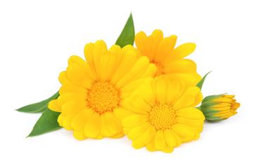 Marigold flower isolated