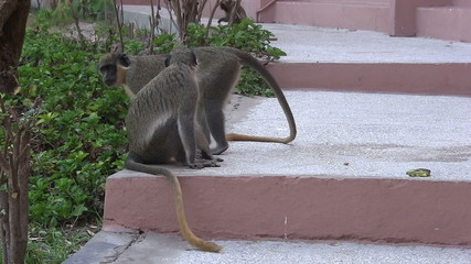 Wild monkeys on hotel steps.