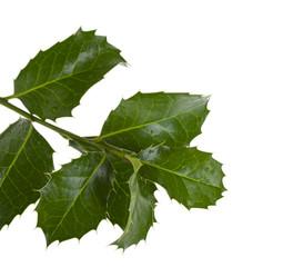 European Holly (Ilex aquifolium) leaves