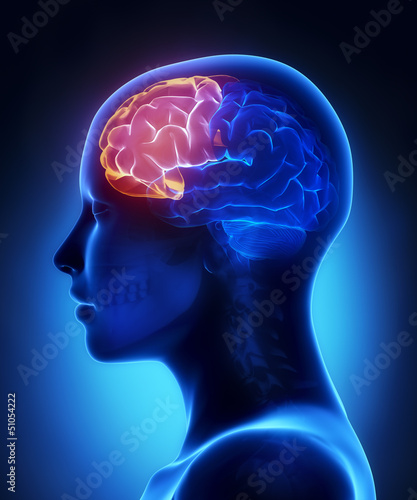 Frontal lobe - female brain anatomy lateral view