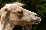Funny camel in the zoo