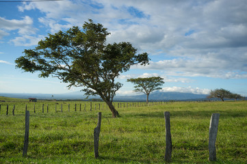 Guanacaste trees