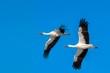 Stork at winter
