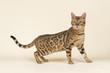 Katzen-Bengal-8851