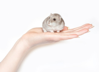 sitting hamster isolated on white
