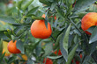 juicy Mediterranean Orange hung on fruit trees