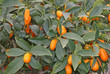 Citrus plants growing oranges and lemons in Sicily