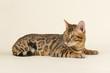 Katzen-Bengal-8861