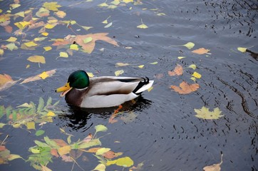 Duck swims in pond with leaves