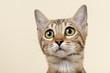 Katzen-Bengal-8862