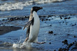 Adelie Penguin coming out of the water
