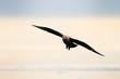 South Polar Skua flying at sundown.