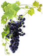 grappe de raisin noir