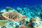 Sea Turtle - 51068265