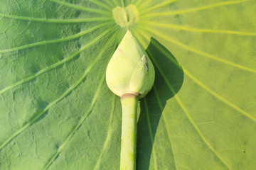 The lotus blossom on  lotus pads (leaves)