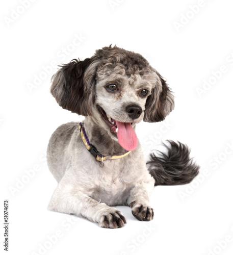 Shih tzu poodle mixed