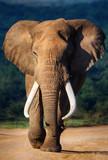 Elephant approaching - 51074882