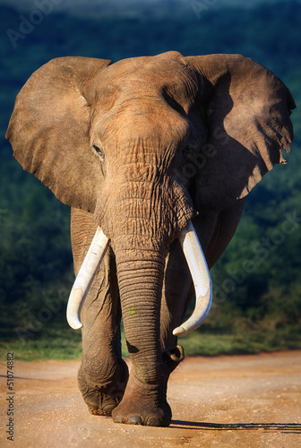 Poster Elephant approaching