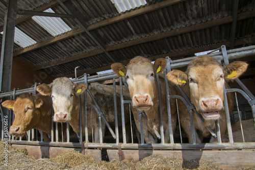 cows feed in a stable