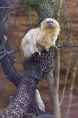 Monkey.golden lion tamarin
