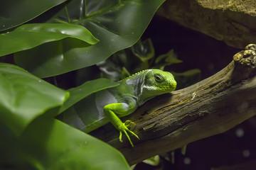 Iguana in the jungle