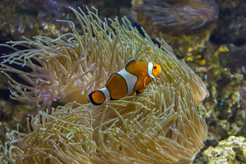 Amphiprion ocellaris ( Clown Fish )