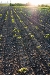 Rows of germinating sunflower against a black ground